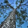 Ground sky shot◆◆15/52◆◆نحو السماء (Amalid) Tags: sky tree canon spring shot ground selftaught onetree project52 canoneos450d canoneosdigitalrebelxsi efs1855mmisf3556 2014in52 groundskyshot