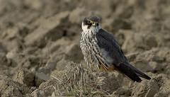 Hobby (Dave @ Catchlight Images) Tags: nature birds birding hobby greece falcon migration lemnos