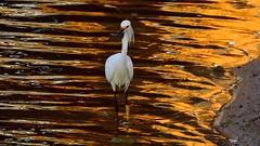 The very elegant Snowy Egret (Jim Mullhaupt) Tags: sunset wallpaper orange lake bird nature water landscape gold pond nikon flickr florida wildlife p900 swamp coolpix egret bradenton snowyegret wader mullhaupt rrflection nikoncoolpixp900 coolpixp900 nikonp900 jimmullhaupt