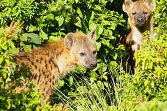DOS HIENAS (titoalfredo) Tags: africa naturaleza hotel arboles kenya selva amanecer bosque kenia tierras vegetal reflejos hiena elefantes cebras bufalos aberdare praderas charcas vidasalvaje titoalfredo facoqueros parquenacionaldeaberdare lacordilleradeaberdare