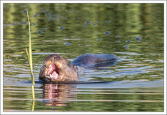 Otter (2) (-terry-) Tags: reflection newport otter rspb newportwetlands
