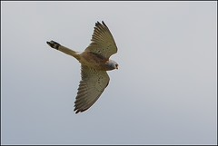 Faucon crécerellette (Falco naumanni) (Laurent Cornu) Tags: avril espagne faucon rapace 2015 falconaumanni canon500f4 mainlevée estrémadure fauconcrécerellette falconidés saucedilla oiseauenvol 7dii multiplicateur14 crécerine