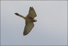Faucon crcerellette (Falco naumanni) (Laurent Cornu) Tags: avril espagne faucon rapace 2015 falconaumanni canon500f4 mainleve estrmadure fauconcrcerellette falconids saucedilla oiseauenvol 7dii multiplicateur14 crcerine