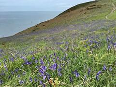 Photo of Dinas Island, sea cliff bluebells. Pembrokeshire