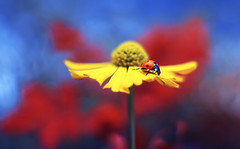 Helenium (ElenAndreeva) Tags: autumn yellow flowers red color blue sun light summer bokeh beautiful cute 500px insect canon garden soft dream colorful composition tones sweet focus bug amazing nature macro flower helenium ledybug