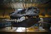 T-Rex (smooth.bokeh) Tags: paris dinosaure musée museum skeleton tyrannosaur tyrannosaure skull crâne share