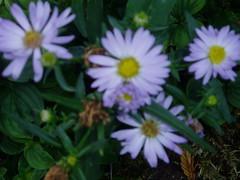 P1010033 (ianharrywebb) Tags: edinburgh iansdigitalphotos flowers flower royalbotanicgardens