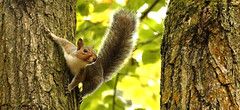 _MG_0803a.jpgs (skyestorme) Tags: squirel bewdley hawkbatch grey forest wyreforest squirrel