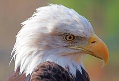 Bald eagle (Haliaeetus leucocephalus) vithvdad havsrn (grynetvalp) Tags: bald eagle abigfave