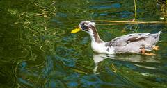 Duck on the lake (randyherring) Tags: ca california duck vasonalakecountypark nature losgatos afternoon park lake recreational outdoor santaclaracountyparks unitedstates us