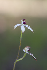 IMG_0888 (japhotographics2) Tags: wttaboy japhotographics japhotgraphics bush orchids au australia aust australian native ne north east vic victoria macro
