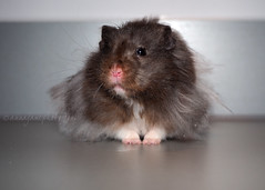 Sleepy Pi (.annajane) Tags: pi pet hamster syrianhamster longhaired mesocricetusauratus  cute
