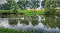 swimming in a lane (matthijs.vandervaart) Tags: scherpenzeel woudenberg zwaan swann zwanen water