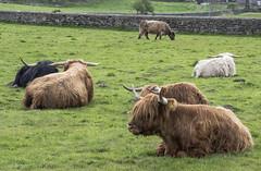 Vacas escocesas (guillenperez) Tags: gran bretaa great britain united kingdom reino unido escocia scottish scotland stirling castle castillo highland cow vaca pelo hair prado meadow
