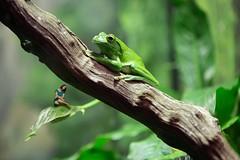 123/365 (Jessie Rose Photography) Tags: frog selfportrait sleepy longday 365 zoo