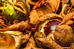 Autumn (Kev Gregory (General)) Tags: horse chestnut aesculus hippocastanum autumn atumnal conker forest floor dried leaves england kev gregory canon 7d