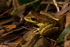 Wilcox's Frog (J.P. Lawrence Photography) Tags: 2016 amphibians amphibia amphibian anura anuran australia2016 frog frogs hylidae herp herpetology herps hylid litoria litoriawilcoxii salientia spring2016 travel treefrog vertebrates vertebrata vertebrate wilcoxsfrog australia easternstonycreekfrog queensland springbrook springbrooknationalpark