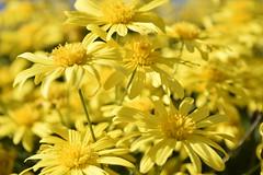 _DSC0474 (Nacho_71) Tags: flowers flores flor amarillo naturaleza petalos margaritas natural aire libre profundidad de campo color luminoso nikon d3300