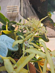 orchid (Rodrigo Ribeiro) Tags: green nature garden gardening natureza orchid orquidea jardim jardinagem flower flor