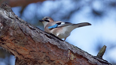 a Jay on the top of a tree (Franck Zumella) Tags: bird jay geai oiseau arbre couleur bleu blue red rouge