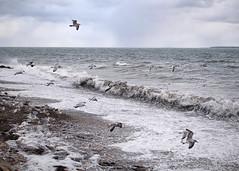 Salt Spray (Steve Bosselman) Tags: ocean sea seascape capecod beach waves whitecaps seagulls windy