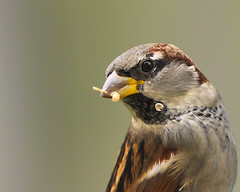 MH_106 ( Ed Lee) Tags: nikon 7100 200500 56e telephoto closeup morning avian bird contrast color portrait cute outdoor markham fall sparrow finch animal bokeh food grain feed