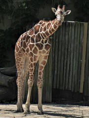 Brookfield, IL, Brookfield Zoo, Giraffe (Mary Warren (7.6+ Million Views)) Tags: brookfieldil brookfieldzoo nature fauna animal mammal giraffe