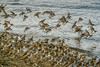 All in a row (rdpe50) Tags: animal wildlife flock birds migratory sandpipers flight shore ocean crescentbeach blackiespit surrey bc