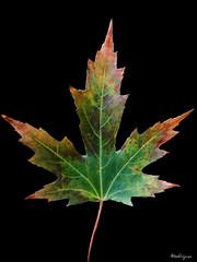 Colorful Maple Leaf - Feuille d'rable colore (monteregina) Tags: maple plantae foliage glossy leaf onblack plant texture veins qubec canada sugarmaple rable patterns dtails colors automne autumn fall