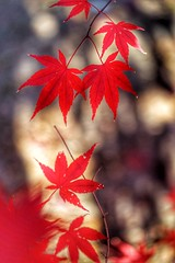 Red Maple Leaves (JPShen) Tags: leaves leaf maple red autumn bokeh