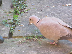 Sunday, 4th, My early morning visitor IMG_0614 (tomylees) Tags: essex morning winter december 4th 2016 sunday garden collareddove paving