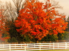 Red Maple (ildikoannable) Tags: fall autumn red redmaple whitefence