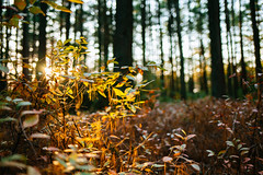 Last light (reclaimednj) Tags: tuckerton newjersey unitedstates us forest highbushblueberry bassriverstateforest