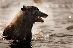 20160710096207 (koppomcolors) Tags: koppomcolors water vatten dog hund