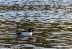 9Q6A8954 (2) (Alinbidford) Tags: alinbidford alancurtis brandonmarsh goldeneye cormorant greyheron heron shoveler greatcrestedgrebe kestrel shelduck wildfowl