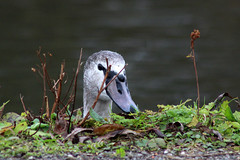 Juvenile Mute Swan (NTG's pictures) Tags: reddish vale stockport cheshire swans canada geese ducks mallards tufted coots moorhens cormorants heron kingfisher crows pigeons collard doves magpies sparrows robin dunnocks little gull first winter