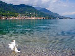 Salo seen from a beach at Lago di Garda. (elsa11) Tags: salo lagodigarda lakegarda gardameer gardasee duck eend bird lake garda see meer brescia italy italia itali