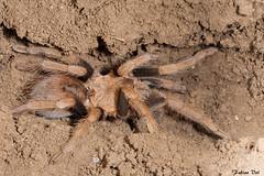 IMG_1459 Veracruz - Theraphosinae (fabianvol) Tags: macro mexique mexico prairie grassland pastizal animal arachnida arachnid arachnide arácnido araignée spider araña mygale tarantula