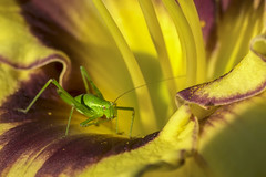 sitting on a daylily (Blende1.8) Tags: grasshopper grün green grashüpfer flip flipp taglilie daylily hemerocallis blüte blossom macro makro gelb rot red yellow colours colors vivid nature garden summer insect insekt sony ilce7m2 a7m2 a7ii fe 90mm carstenheyer