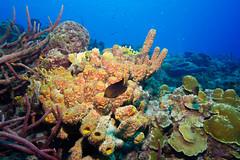 Reef_Bonaire_November 2016 C 332 (R13X) Tags: bonaire bonairediveandadventure underwaterphotography shorediving wideanglephotography reef coral sponge