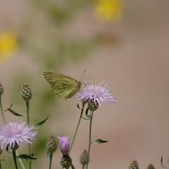 073 Pink-edged Sulphur_5583 ( Colias interior ) (agawa2yukon) Tags: pieridae coliadinae lepidoptera butterflies butterfly michigan