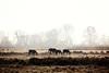 """we dont know """"time"""" (Marian_Heinzmann) Tags: horses pferde natur landschaft nebel fog silhouettes silhouette brandenburg havelradweg havel"""