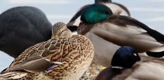 NOVIEMBRE 25-11-2016 232 (jperezto) Tags: anade pato duck