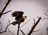 Luck would have it (13skies) Tags: baldeagle highabove up trees ayrroad ontario wildlife eagle settings sonyalpha99 takeoff looking prepared lucky luck eagleeye