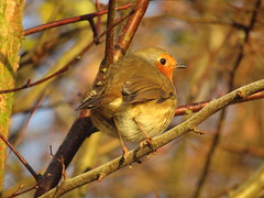 Absolutely love this time of year for photographing Robins, can't beat the low sunlight early in the morning. (stevencarruthers93) Tags: greenheart wigan wiganflashes nature wildlife britain