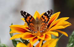 Australian Painted Lady Butterfly About To Take Flight (Breeana_Shenae) Tags: australia australian paintedlady australianpaintedlady butterfly macro canon canon650d gazania nectar snack lens colours vibrant orange yellow