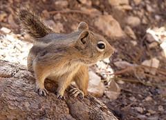 Ground Squirrel (ORIONSM) Tags: golden mantelled ground squirrel utah animal nature chipmonk