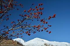 premier dcembre en Savoie. (yves floret) Tags: savoie maurienne arbres sorbiers couleurs neige montagne ciel automne
