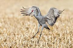 Sandhill Crrane (Mike Veltri) Tags: mikeveltri sandhill crane birds avian flight naturephotography wild migration ontario canada