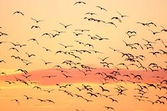 Revoada de Garças (Ricardo_ Lima) Tags: sunset pordosol brazil orange birds horizontal brasil fly amazon pássaros amazõnia revoadadegarças